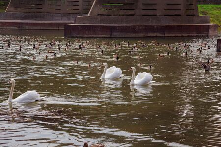 cygnet: Family of Swans with Cygnets on a white swans swimming in the river Stock Photo