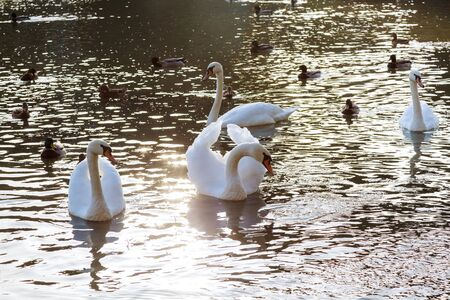 Swan on the river White swans in the water. Stock Photo