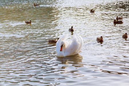 serbia: Mute Swan on river Danube, Belgrade Serbia, municipalities Zemun.