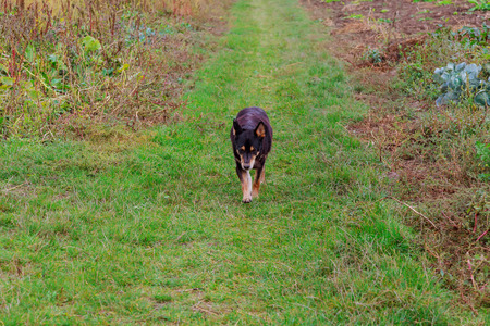 powerfully: A beautiful dog running in the green grass Stock Photo