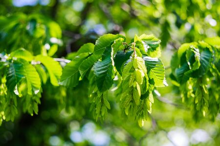 Summer tree leaves Green leaves background trees, woods, young 免版税图像