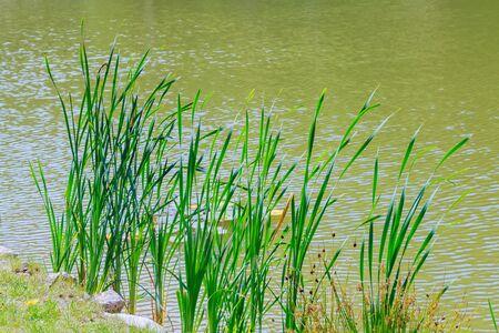 ance: reeds growing at the lake reeds lake