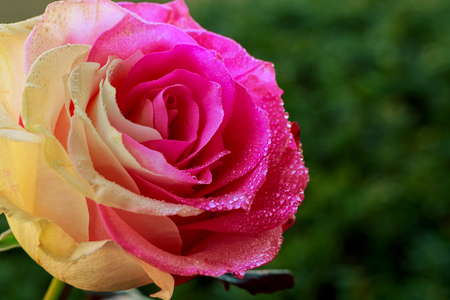 Beautiful rose flower with drops of dew Rose with drops of dew Stock Photo
