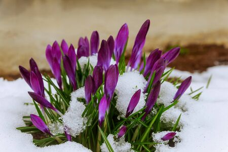 Blue crocus flowering from snow Reklamní fotografie