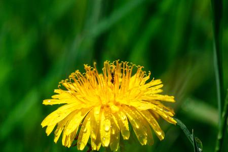dandelion dew drops Dew on a yellow flower
