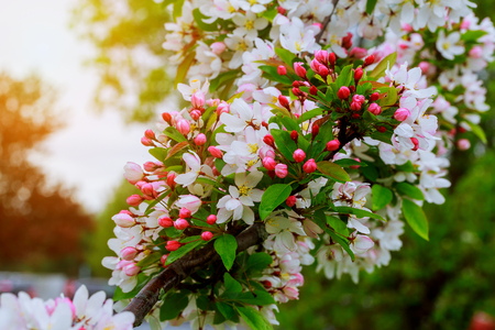 crab apple tree: A blooming branch of apple tree in spring Spring flowering trees Stock Photo