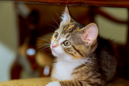 lie forward: Young cat is looking forward little kitten Stock Photo