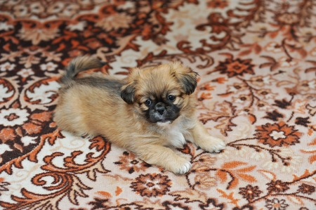 Pekingese dog relaxing in the home animal, background