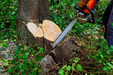 Man cuts tree with chainsaw Machine for cutting trees