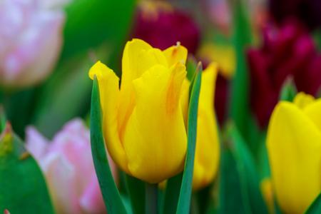 beautiful yellow tulips, big bouquet Yellow tulips Stock Photo