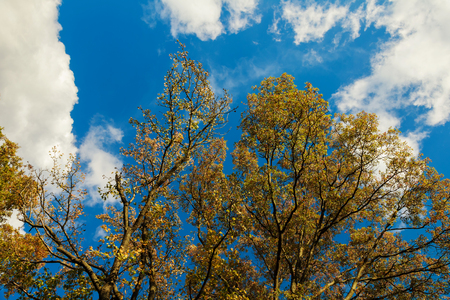Autumn trees on the background of the sky with clouds tree with yellow leaves over the blue sky background