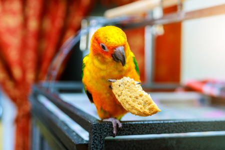 Big funny red sun conure eating cookies