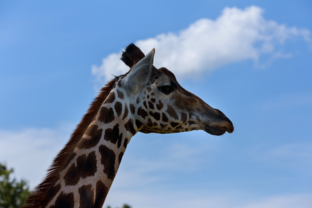 Portrait of a curious giraffe Giraffa over blue sky with white clouds in wildlife With space for text Stock Photo