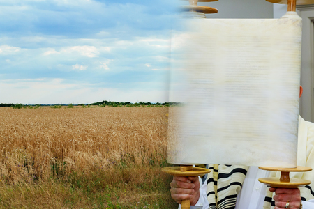 The Hebrew handwritten Torah scroll, on a synagogue alter Field wheat in period harvest on background cloudy sky