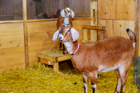Lovely couple goats standing in wooden shelter and looking at the camera. Close-up. Soft sunlight. Shallow depth of field farm Imagens