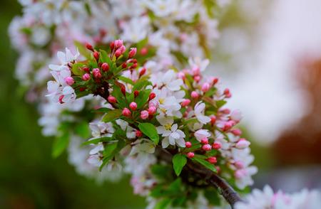 Fiori su un ramo nell'albero di mele di primavera.
