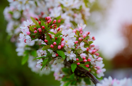 Flowers on a branch in the spring apple tree.