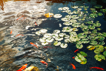 Small decorative pond in which floating carp Koi