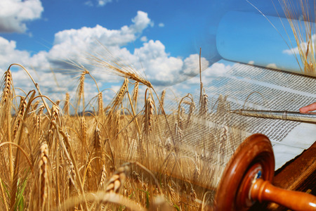 Symboles de la fête juive Chavouot Torah et prairie de champ de blé. Banque d'images