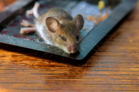 Dead rat glued at clue tray on wood table mouse killed Stock fotó