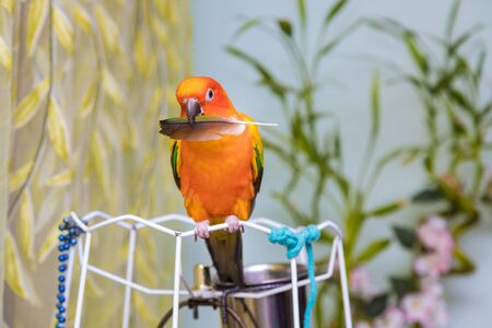 Beautiful birds on the parrot sun conure on holding a parrot feather puppy
