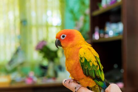Beautiful yellow and orange Sun Conure perched on the fingers of its owner a hand Stock Photo