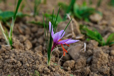Saffron flowers on the field at harvest time