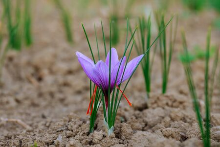 At harvest time of a field of saffron closeup Standard-Bild