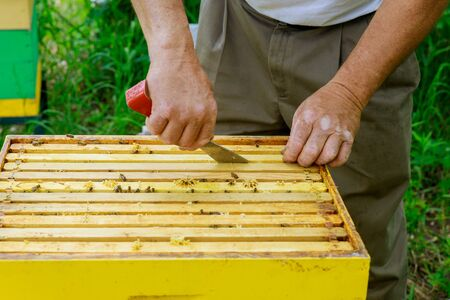 Beekeeper works on takes out frames with honeycombs for check of filling with fresh honey