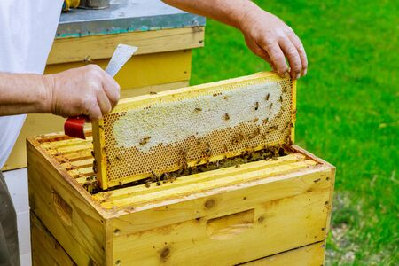 Beekeeper holds a open honeycombs with frame raw organic honey Imagens