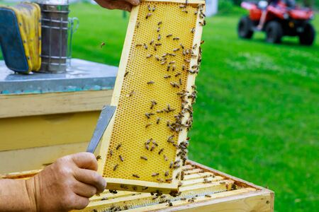 A man checks in the honeycomb beekeeping holding a honeycomb with bees near the beehives