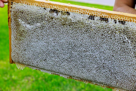 Beekeeper holds a open frame with honeycombs filled with honey Standard-Bild