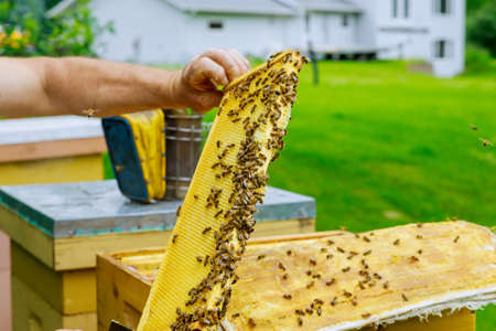 Beekeeper checks beehives with bees, caring for frames honeycomb full of bees Imagens