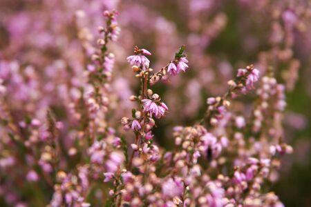 heather: macro of blooming heather