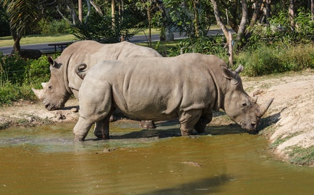 Rhino in Pond photo