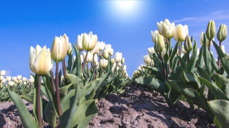 White tulips in front of a blue sky photo