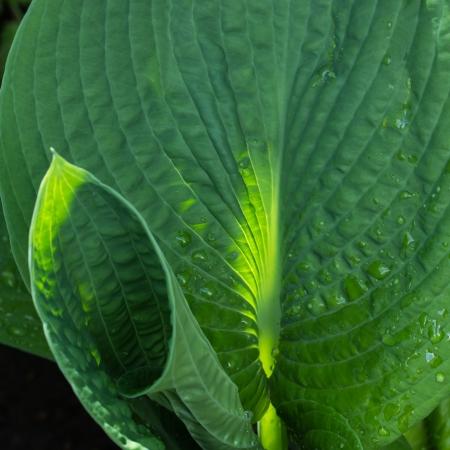hosta: Macro hosta leaves