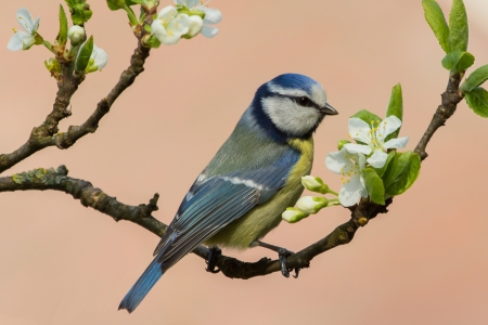 tom tit: Bird tom tit betwee the blossom of a fruit tree