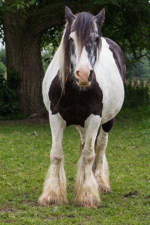 Black and white gypsy tinker horse photo