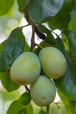 Green unripe plum hanging on a tree photo
