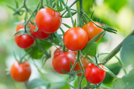 sherry: Ripe sherry tomatos growing in a greenhouse Stock Photo