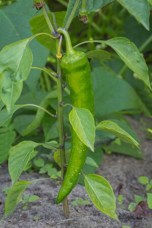 Los chiles picantes growning en la vanguardia de verduras photo