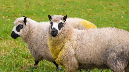 kerry: Kerry sheep