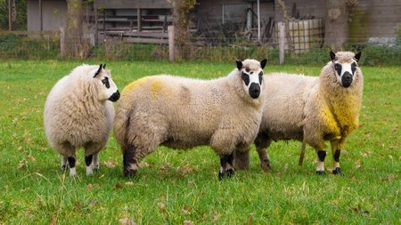 kerry: Kerry sheep Stock Photo