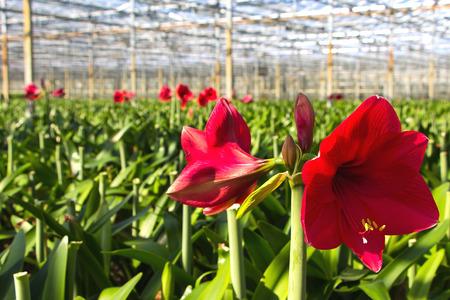 Amarylis nursery in a greenhouse