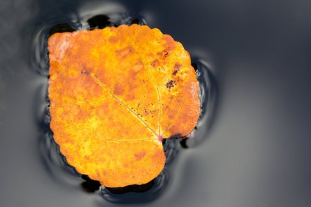 Brown leaf floating in the black water photo
