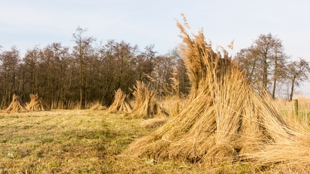 Landscape with bundles of reed In wetland photo