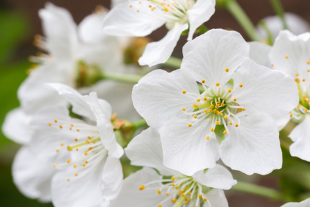 White blossom of an apple tee in spring