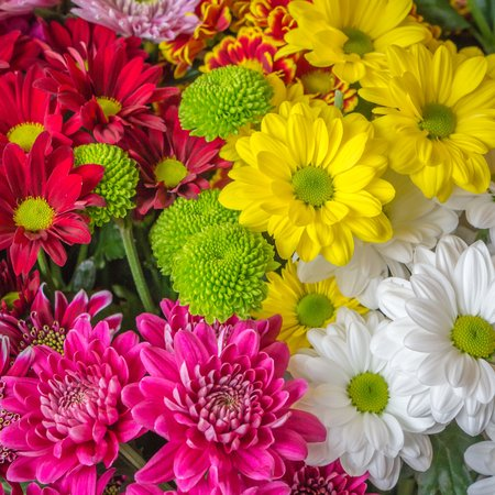 Colorful chrysanthemums in a Dutch greenhouse photo