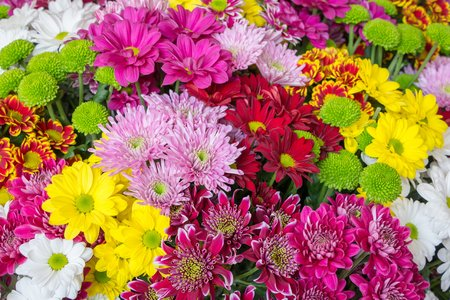 purple  love: Colorful chrysanthemums in a Dutch greenhouse